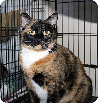 Calico Cat for adoption in Fallbrook, California - Agate