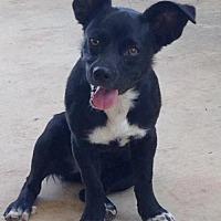 Boston Terrier/Spaniel (Unknown Type) Mix Dog for adoption in Rhome, Texas - Jillian