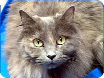 Domestic Mediumhair Cat for adoption in Wakefield, Massachusetts - Daisy