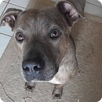 Mountain Cur/American Staffordshire Terrier Mix Dog for adoption in North East, Florida - Rigby