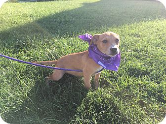 Terrier (Unknown Type, Medium) Mix Puppy for adoption in Oak Grove, Kentucky - Hawk