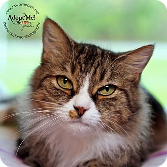 Domestic Mediumhair Cat for adoption in Lyons, New York - Danielle