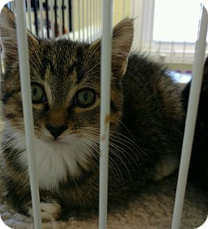 Domestic Shorthair Kitten for adoption in Randolph, New Jersey - Tons of Kittens
