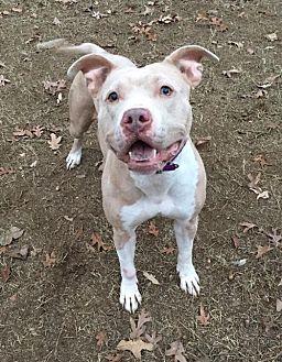 American Bulldog/Catahoula Leopard Dog Mix Dog for adoption in Charlotte, North Carolina - Latte
