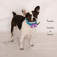 Adopt A Pet :: Pantalou - Arcadia, CA