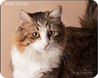 Maine Coon Kitten for adoption in Gilbert, Arizona - Mortimer
