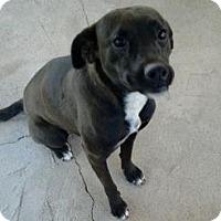 Adopt A Pet :: Lila - Tucson, AZ
