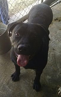 Pit Bull Terrier/Labrador Retriever Mix Dog for adoption in Pembroke, Georgia - Rocky