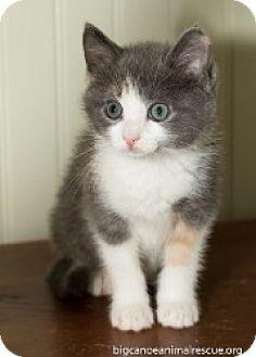 American Shorthair Kitten for adoption in Big Canoe, Georgia - Gracie