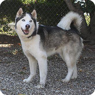 Siberian Husky Mix Dog for adoption in Santa Barbara, California - Kodiak