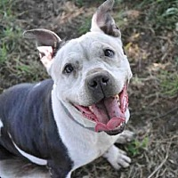 Pit Bull Terrier Mix Dog for adoption in Austin, Texas - ZOE