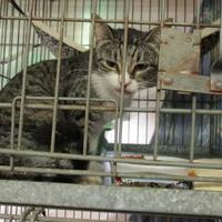 Domestic Shorthair/Domestic Shorthair Mix Cat for adoption in West Monroe, Louisiana - Flower