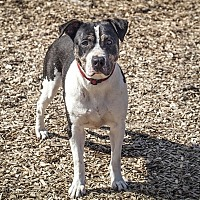 Pit Bull Terrier Mix Dog for adoption in Napa, California - Shakira
