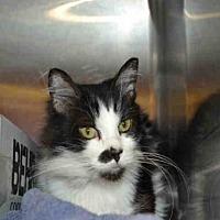 Adopt A Pet :: SMUDGE - Rancho Cucamonga, CA