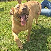 Adopt A Pet :: Sky - Troy, MI