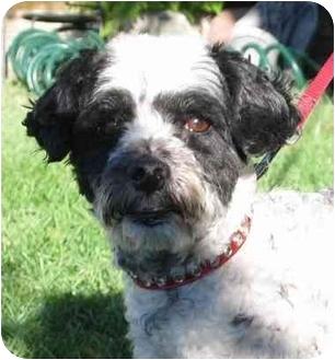 Poodle (Miniature)/Cocker Spaniel Mix Dog for adoption in Simi Valley, California - Oreo