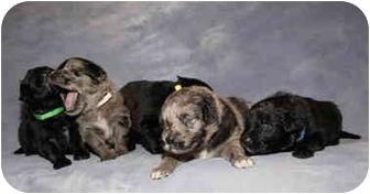 Golden Retriever Mix Puppy for adoption in Houston, Texas - 7 GR mix pups
