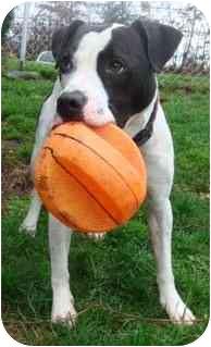 Boxer Mix Dog for adoption in BRIDGEPORT, Connecticut - Cowboy