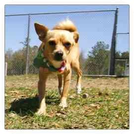 Chihuahua Mix Dog for adoption in North Charleston, South Carolina - Diamond
