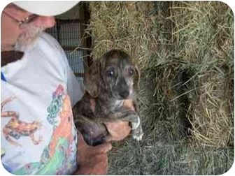 Beagle Mix Puppy for adoption in Rochester, New Hampshire - SpeedAdopted