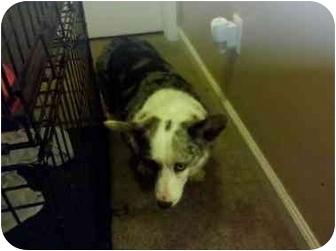 Cardigan Welsh Corgi Dog for adoption in Murfreesboro, Tennessee - Abby