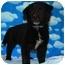 Photo 2 - Border Collie/Collie Mix Puppy for adoption in Broomfield, Colorado - Donatello