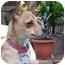 Photo 1 - Chihuahua Mix Dog for adoption in Beavercreek, Ohio - LIBBY