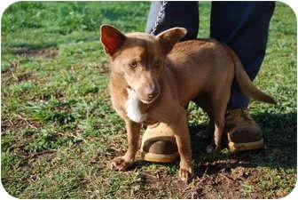 Corgi Mix Dog for adoption in Bunkie, Louisiana - Marcie