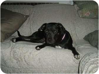 Labrador Retriever/American Pit Bull Terrier Mix Dog for adoption in Cincinnati, Ohio - Leo - Courtesy Post