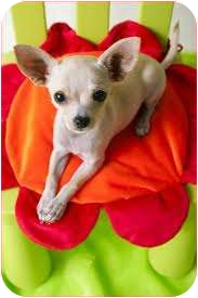 Chihuahua Dog for adoption in Wauseon, Ohio - Chico
