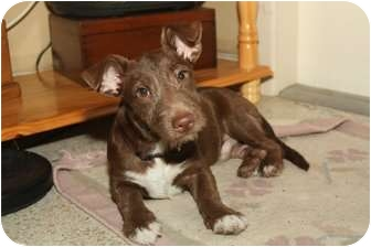 Terrier (Unknown Type, Small) Mix Dog for adoption in Miami-Dade and Naples/Ft Myers areas, Florida - ALFIE