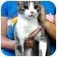 Photo 1 - Domestic Shorthair Cat for adoption in Warren, Michigan - Dorothy