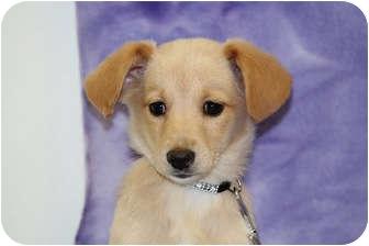 Corgi Mix Puppy for adoption in Broomfield, Colorado - LIL