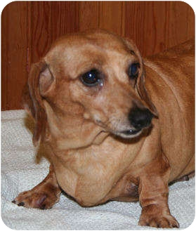 Dachshund Dog for adoption in Newtown, Connecticut - WILMA A LITTLE BIT CHUBBY