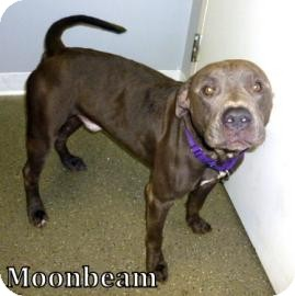 Pit Bull Terrier Mix Dog for adoption in Georgetown, South Carolina - Moonbeam