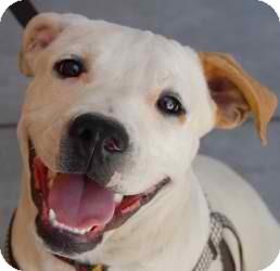 American Bulldog/Boxer Mix Dog for adoption in Anza, California - Zander