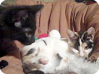 Domestic Shorthair Kitten for adoption in Holmes Beach, Florida - Coco