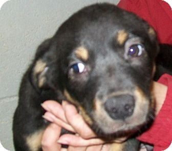 Border Collie/Rottweiler Mix Puppy for adoption in Grants Pass, Oregon - Max