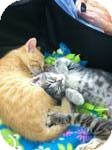 Domestic Shorthair Kitten for adoption in Chesterfield Township, Michigan - Shades