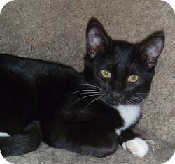 Domestic Shorthair Cat for adoption in Hamburg, New York - Curly