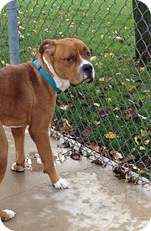 Terrier (Unknown Type, Medium) Mix Dog for adoption in South Haven, Michigan - Buck