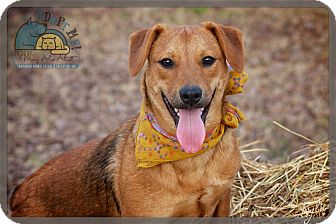 Beagle/Terrier (Unknown Type, Medium) Mix Dog for adoption in Wilmington, Delaware - Kylie