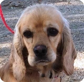 Cocker Spaniel Dog for adoption in Santa Barbara, California - Jenna