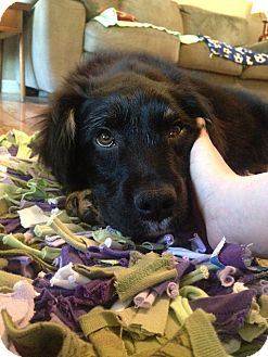 Australian Cattle Dog/Shepherd (Unknown Type) Mix Puppy for adoption in Chattanooga, Tennessee - Jodi