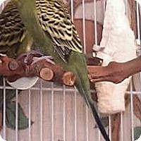 Adopt A Pet :: Scotti - Lenexa, KS
