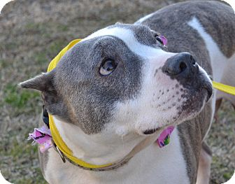 American Staffordshire Terrier/Terrier (Unknown Type, Medium) Mix Dog for adoption in Searcy, Arkansas - Shirley