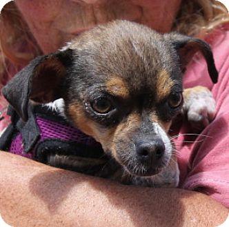 Chihuahua/Pekingese Mix Dog for adoption in San Francisco, California - Faith