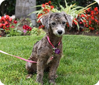 Poodle (Miniature) Mix Puppy for adoption in Newport Beach, California - BEEGEE