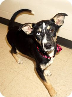 Husky Mix Puppy for adoption in Lexington, North Carolina - BISCUIT