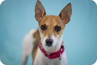 Chihuahua Mix Dog for adoption in Bradenton, Florida - Sunflower